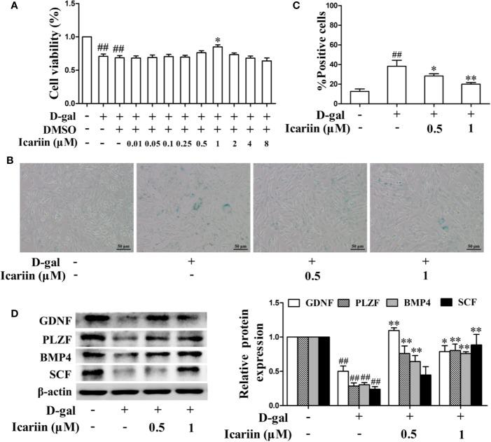 Icariin alleviates TM4 cells injury induced by D-galactose (D-gal). (A) Cellular viability was detected using MTT assay. TM4 cells at a concentration of 3 × 10 4 cells/well in 96-well plates were pretreated with icariin (0.01–8 μM) or DMSO (0.1%) for 20 h and then incubated with 100 mM D-gal for 60 h. (B–D) TM4 cells at 5 × 10 5 /well in 6-well plates were pretreated with icariin (0.5–1 μM) for 20 h and then incubated with 100 mM of D-gal for 60 h. (B) Representative images of SA- β -gal staining of cells (scale bar = 50 μm). (C) The percentages of SA- β -gal-positive cells from a total of 500 cells. (D) The relative protein expression levels of GDNF, PLZF, BMP4, and SCF were measured using western blotting analysis. All values are expressed as means ± SEM of three independent experiments. ## P