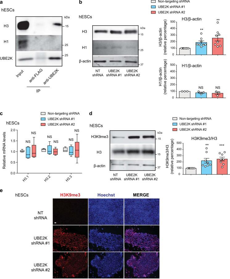 Loss of UBE2K increases total H3 levels and H3K9 trimethylation in hESCs. a Immunoprecipitation with UBE2K and control FLAG antibodies in H9 hESCs followed by western blot with H3, H1 and UBE2K antibodies. The images are representative of three independent experiments. b Western blot analysis of H9 hESCs with antibodies to total histone H3 and H1. Relative percentage values of H3/β-actin (mean ± s.e.m., eight independent experiments) and H1/β-actin (mean ± s.e.m., three independent experiments) to NT shRNA control hESCs are presented. c qPCR analysis of histone H3 variants in H9 hESCs. Graph (relative expression to NT shRNA control hESCs) represents the mean ± s.e.m. of five independent experiments. d Western blot analysis of H9 hESCs with antibodies to H3K9me3 and total H3. Graph represents the relative percentage of H3K9me3/H3 ratio to NT shRNA control hESCs (mean ± s.e.m., eight independent experiments). e Immunocytochemistry of H9 hESCs with antibody to H3K9me3. Hoechst staining was used as a marker of nuclei. Scale bar represents 20 μm. The images are representative of three independent experiments. All the statistical comparisons were made by two-tailed Student's t test for unpaired samples. P value: ** P