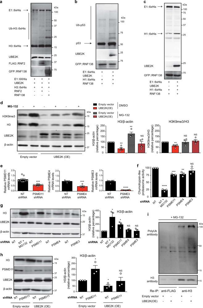 UBE2K modulates ubiquitination and proteasomal degradation of histone H3. a In vitro ubiquitination assay of 6xHis-tagged H3F3A with UBE2K and FLAG::RNF2 or GFP::RNF138 ubiquitin ligases followed by immunoblotting with antibodies to 6xHis, UBE2K, FLAG and GFP. The images are representative of two independent experiments. b In vitro ubiquitination of recombinant p53 followed by immunoblotting with antibodies to p53, UBE2K, and GFP. The images are representative of two independent experiments. c In vitro ubiquitination of 6xHis::H1 followed by immunoblotting with antibodies to 6xHis, UBE2K, and GFP. The images are representative of two independent experiments. d Western blot of UBE2K overexpressing (OE) HEK293 with antibodies to H3, H3K9me3 and β-actin. The graphs represent the relative percentage of H3/β-actin and H3K9me3/H3 to DMSO-empty vector cells (mean ± s.e.m. of four independent experiments). When indicated in the figure, cells were treated with 5 µM MG-132 for 16 h. e Knockdown levels of proteasome activators in HEK293 cells. The graph (relative expression to non-targeting (NT) shRNA HEK293 cells) represents the mean ± s.e.m. (PSMD11 shRNA (n = 8), PSME4 shRNA ( n = 5), PSME3 shRNA ( n = 6)). f Percentage of chymotrypsin-like proteasome activity relative to NT shRNA HEK293 cells (mean ± s.e.m. of three independent experiments). MG-132 treatment: 5 µM MG-132 for 16 h. g Western blot of HEK293 cells with antibodies to H3 and UBE2K. The graph represents the relative percentage of H3/β-actin to NT shRNA cells (mean ± s.e.m. of three independent experiments). h Western blot of HEK293 cells with antibodies to H3, PSMD11 and UBE2K. The graph represents the relative percentage of H3/β-actin to NT shRNA + empty vector cells (mean ± s.e.m. of three independent experiments). i After immunoprecipitation with anti-H3 and anti-FLAG antibodies in HEK293 cells, we performed a re-immunoprecipitation (Re-IP) with the same antibodies. Re-IP was followed by western blot with ant