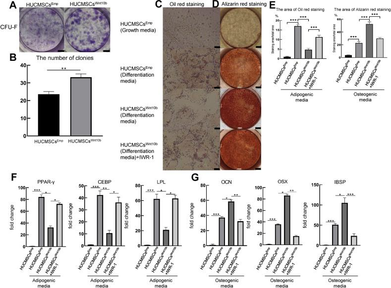 HUCMSCs Wnt10b had robust self-renewal ability and osteogenic differentiation ability but decreased adipogenic differentiation ability . (A) The self-renewal ability of HUCMSCs Emp and HUCMSCs Wnt10b was assessed by CFU-F assays. HUCMSCs Emp and HUCMSCs Wnt10b were seeded in 6-well plates at 1000 cells/well. Seven days later, the cells were stained with crystal violet (scale bar = 0.5 mm). (B) Colonies, which contain more than 50 cells, were quantified ( n = 3, mean ± SEM, ∗∗: p