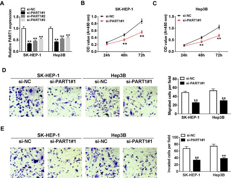PART1 knockdown suppressed proliferation, migration and invasion in HCC cells. ( A ) The transfection efficacy of si-PART1#1/#2/#3 was measured by qRT-PCR assay. ( B – E ) SK-HEP-1 and Hep3B cells were transfected with si-PART1#1 or si-NC. ( B – C ) Cell viability was evaluated by CCK-8 assay. ( D, E ) The migration and invasion of transfected HCC cells were detected by transwell assay. **P