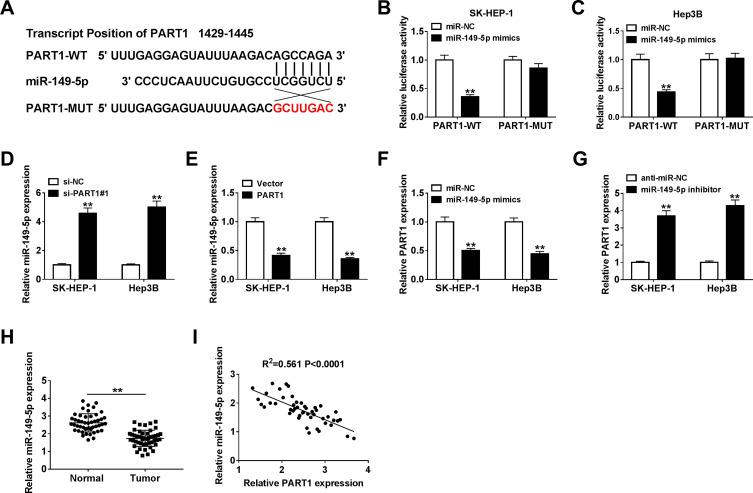 PART1 could bind miR-149-5p specifically and suppressed the miR-149-5p expression. ( A ) The putative binding sites between PART1 and miR-149-5p and the mutant sequences of PART1 were shown. ( B, C ) Luciferase activity was detected in SK-HEP-1 and Hep3B cells co-transfected with PART1-WT or PART1-MUT and miR-149-5p mimics or miR-NC. ( D, E ) The expression of miR-149-5p was examined by qRT-PCR in SK-HEP-1 and Hep3B cells transfected with si-NC, si-PART1#1, Vector or PART1. ( F, G ) The expression level of PART1 was detected in SK-HEP-1 and Hep3B cells transfected with miR-NC, miR-149-5p mimics, anti-miR-NC or miR-149-5p inhibitor. ( H ) The miR-149-5p expression was measured in HCC tissues and adjacent normal tissues. ( I ) Correlation analysis between PART1 and miR-149-5p expression was conducted by Pearson analysis. **P