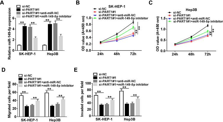 PART1 regulated proliferation, migration and invasion of HCC cells via miR-149-5p. SK-HEP-1 and Hep3B cells were transfected with si-NC, si-PART1#1, si-PART1#1+anti-miR-NC, or si-PART1#1+miR-149-5p inhibitor. ( A ) QRT-PCR was carried out to detect the expression of miR-149-5p in transfected HCC cells. ( B, C ) CCK-8 was used to assess the proliferation. ( D, E ) The migration and invasion were detected by transwell assay. **P