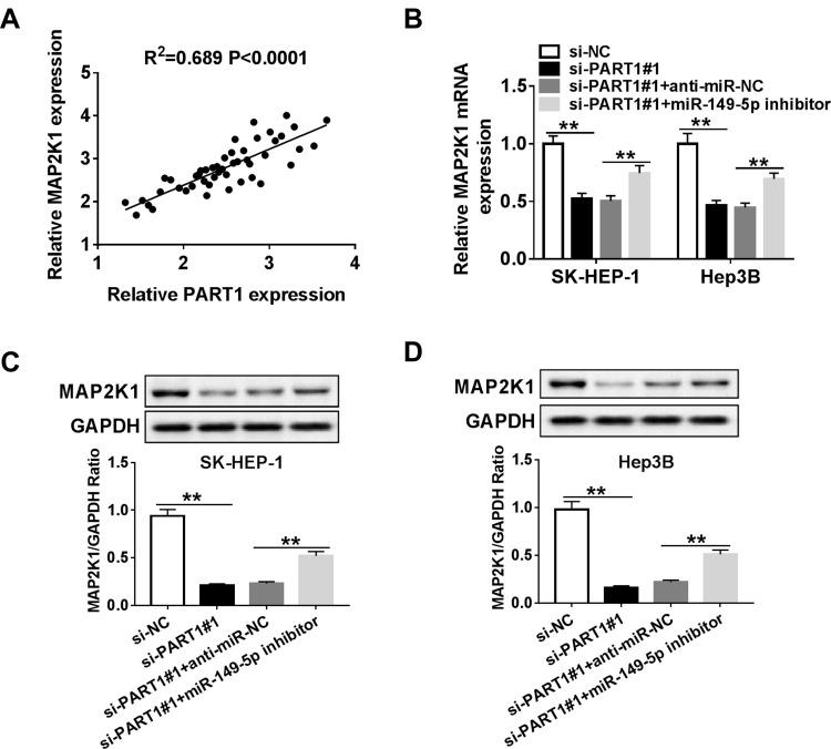 PART1 increased MAP2K1 level by weakening miR-149-5p-mediated inhibitory effect on MAP2K1 in SK-HEP-1 and Hep3B cells. ( A ) Correlation analysis between MAP2K1 and PART1 expression in HCC was performed by Pearson analysis. ( B – D ) SK-HEP-1 and Hep3B cells were transfected with si-NC, si-PART1#1, si-PART1#1+anti-miR-NC, or si-PART1#1+miR-149-5p inhibitor. ( B ) The MAP2K1 mRNA expression was assessed by qRT-PCR. ( C, D ) MAP2K1 protein level was determined by Western blot in transfected SK-HEP-1 and Hep3B cells. **P
