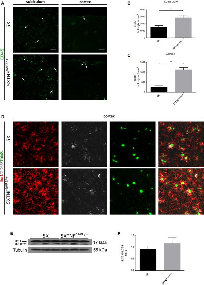 CD45 infiltrating leukocytes are increased while CD68-positive phagocytic microglia and LC3II levels show a trend towards increase in the 5XFAD/TNF ΔARE/+ brains. ( A,B,C ) Immunofluorescent detection of CD45 positive leukocytes at the subiculum of the hippocampus and the cortex (arrows) shows an increase in 5XFAD/TNF ΔARE/+ brains compared to 5XFAD controls. Representative pictures of the subiculum and the cortex ( A ) are shown for each group. Scale bars: 50 μm. Quantitation of CD45 leukocytes in the subiculum ( B ) and the cortex ( C ), reveals a significant increase in 5XFAD/TNF ΔARE/+ brains. Data are mean ± SEM; n = 3 mice per group. For statistical analyses, two-tailed unpaired t test was used. *p = 0,0269, ** p = 0,0030 ( C ). ( D ) Immunofluorescent detection of CD68/Iba1 in brain sections shows a small non-significant increase of CD68 in activated microglia surrounding amyloid plaques in 5XFAD/TNF ΔARE/+ mice compared to 5XFAD controls. Sections were also stained for amyloid plaques with Thioflavine S. Scale bars: 50 μm. ( E ) Western blot analysis of LC3 brain protein levels in 5XFAD/TNF ΔARE/+ brains reveals an increase in the LC3II form and the LC3II/LC3I ratio ( F ), suggesting an increase in autophagy compared to 5XFAD controls. Analysis was performed with densitometric analysis using ImageJ software. Data are mean ± SEM; n = 3 mice per group. For statistical analyses, two-tailed unpaired t test was used.