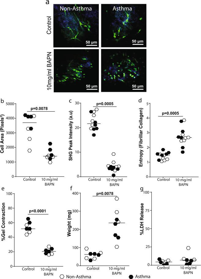 Lysyl oxidase activity is essential for fibroblast contraction of collagen I gels. Primary airway fibroblasts from non-asthmatics and asthmatics (n = 4–6) were grown to confluence and seeded on collagen I gels and allowed to contract and migrate through the gel for 24 hours in the presence or absence of 10 mg/ml β-aminopropionitrile which inhibits lysyl oxidase activity. Collagen I gels were then stained with DAPI and Phalloidin 488 for F-actin in the seeded fibroblasts. ( a ) Representative composite images of co-localized un-labeled second harmonic generation images (SHG, shown in blue) and two-photon excited fluorescence labeled with DAPI and phalloidin staining (TPEF, shown in green) of fibrillar collagen and fibroblasts respectively, ( b ) Cell area of fibroblasts seeded in collagen I gels after contraction. ( c ) Second harmoni generation (SHG) peak intensity of fibrillar collagen and ( d ) entropy score for collagen fibers calculated using texturel analysis of second harmonic generation images ( e ) Percentage gel contraction of collagen I gels. ( f ) Semi-dry weight of contracted gels. ( g ) Primary airway fibroblasts (PAFs) were grown to confluence on collagen I coated plates and stimulated with or without 10 mg/ml BAPN. Percentage lactate dehydrogenase (LDH) released from cells after 24 hours. Representative images are 20X magnification and scale bars are provided. Exact P values indicated.