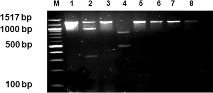 """Restriction Fragment length polymorphism of the Proteus isolate, ULP014 (integrase positive), M:100 bp NEB Molecular weight marker, 1: Uncut DNA, 2: ULP014 ( Hpa II), 3: ULP014 ( Apo II), 4: ULP014 ( Tau I), 5: ICER391 ( Hpa II), 6: ICER391 ( Apo I), 7: ICER391 ( Tau I), 8: Control no enzyme """"mock digest""""."""