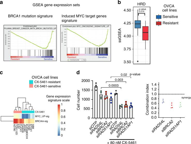 Sensitivity to CX-5461 is associated with induced MYC target genes, BRCA1-mutated and HRD gene expression signatures. a GSEA of microarray expression data of 12 CX-5461-sensitive and 11 CX-5461-resistant cell lines (Fig. 1a ). Enrichment plots of gene sets identified to be enriched in the CX-5461-sensitive cell lines are shown. b Single sample GSEA (ssGSEA) was utilized to obtain the level of activity of a HRD gene expression signature 24 in individual samples. Genes in each sample were ranked according to their expression levels, and a score for each pathway was generated based on the empirical cumulative distribution function, reflecting how highly or lowly genes were found in the ranked list. n = 32 cell lines in Fig. 1a , box plot—median, upper and lower hinges correspond to the first and third quartiles (25th and 75th percentiles). Upper whisker extends to the largest value no further than 1.5*IQR (IQR = inter-quartile range). Lower whisker extends to the smallest value at 1.5*IQR. Data beyond the end of the whiskers are plotted as individual points. Statistical significance was obtained using two-sided Wilcoxon tests. c The level of expression of MYC target genes (MYC_UP-sig) and BRCA1 mutated (BRCAm-sig) gene signatures were calculated in RNA expression data from the Broad Institute CCLE using ssGSEA. The MYC_UP-sig and BRCAm-sig gene expression signatures are more highly expressed in the CX-5461-sensitive group compared with the resistant group (one-sided Wilcoxon tests p -value 0.004762 and 0.009524, respectively). d The combination of CX-5461 and siRNAs targeting HR genes in OVCAR4 cells synergistically inhibits proliferation. Four individual siRNA duplexes per gene were reversed transfected for 24 h, followed by treatment with CX-5461 (80 nM) or vehicle for 48 h. Cell counts were measured using DAPI staining and imaged using Cellomics. n = 4, each data point represents individual siRNA duplexes. Error bars represent mean ± SEM (standard error of the mean)