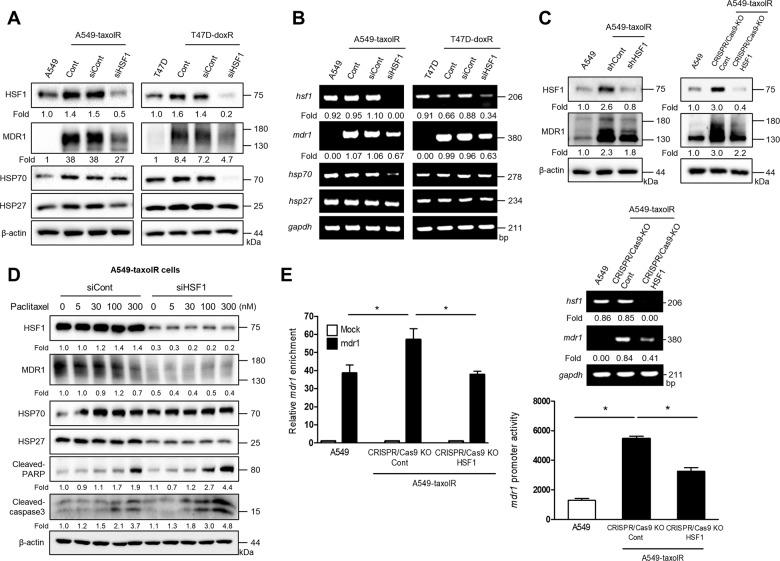 HSF1 depletion down-regulated the transcriptional level of mdr1 in drug-resistant cancer cells. a, b After A549 lung cancer cells, paclitaxel-resistant A549 cells (A549-taxolR), T47D breast cancer cells, and doxorubicin-resistant T47D cells (T47D-doxR) were transfected with a control siRNA (siCont) or siHSF1, western blotting or RT-PCR was performed. c After A549 and A549-taxolR were transfected with shRNA (shCont), shHSF1, CRISPR/Cas9-Control (Cont), or HSF1 CRISPR/Cas9 knockout (KO) plasmid, western blotting (top) or RT-PCR (middle) was performed. c , bottom Luciferase assays in A549 and A549-taxolR with CRISPR/Cas9-Control or HSF1 CRISPR/Cas9 KO plasmid were performed after transfection with a luciferase reporter construct with the mdr1 promoter. Values are presented as the mean ± SD of at least three independent experiments. Statistics calculated based on one-way ANOVA, * p