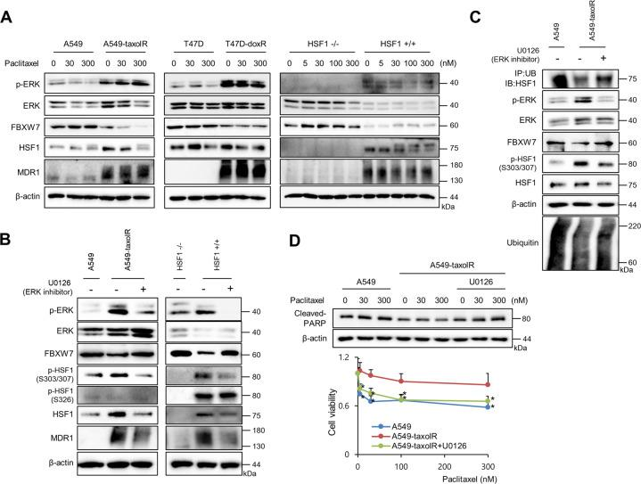 ERK1/2 activation in drug-resistant cancer cells was involved in decreased FBXW7 expression. a Cells of <t>A549,</t> <t>A549-taxolR,</t> T47D, T47D-doxR, HSF1−/− mouse embryonic fibroblasts, and HSF1+/+ mouse embryonic fibroblasts were treated with indicated concentrations of paclitaxel for 24 h, and western blotting was performed. b Cells of A549, A549-taxolR, HSF1−/− mouse embryonic fibroblasts, and HSF1+/+ mouse embryonic fibroblasts were treated with U0126, an ERK1/2 inhibitor (10 μM), for 12 h, and western blotting was performed. c Cell lysates of A549 and A549-taxolR with or without U0126 treatment (10 μM) for 12 h were immunoprecipitated with a ubiquitin construct (Ub) and immunoblotted with HSF1. Western blotting was also performed. d A549 and A549-taxolR cells were pretreated with or without U0126 treatment (10 μM) for 1 h and were treated with indicated doses of paclitaxel. Cell death was analyzed by western blot analysis, and cell viability was determined by the MTT assay. Values are presented as percentages of cell survival in paclitaxel-treated cells relative to untreated cells and as the mean ± SD of at least three independent experiments. Statistics calculated based on a Student's t -test, * p