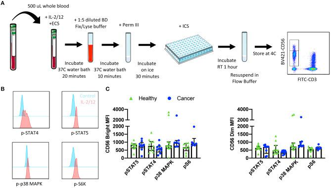 Whole blood signaling protein methodology, gating strategy, and quantification. Whole blood was collected from patients and 500 μL was aliquoted per receptor panel. After a 15-min incubation with IL-2/12 stimulation and the desired receptor panel, lyse/fix buffer was added and incubated for 10 min before blood was spun down. Cells were washed, resuspended in Perm III Buffer, and incubated on ice for 30 min before being spun down and resuspended in an intracellular staining mix. Cells were then incubated for an additional hour at room temperature prior to being resuspended and assessed by flow cytometry (A) . The lymphocyte population was gated on before excluding doublets and dead cells. CD45 + CD14 − CD56 Bright/Dim CD3 − cells were gated on to assess signaling protein phosphorylation (B) . The relative level of expression (MFI) of phospho-proteins STAT5, STAT4, p38 MAPK, and S6 was assessed in healthy donor ( n = 13) and cancer patient ( n = 9) samples (C) . Shown are the median values ± IQR.
