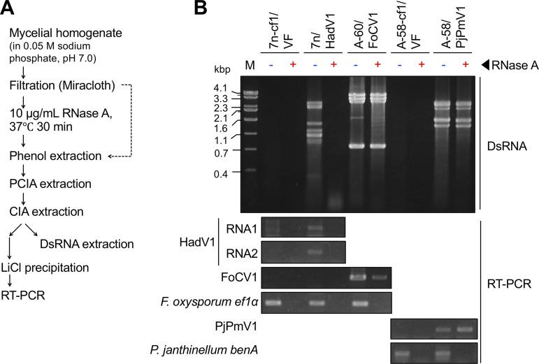 RNase A treatment of mycelial extracts containing viral RNAs. Three F. oxysporum strains (a virus-free isolate [7n-cf1/VF], a HadV1-infected isolate [7n/HadV1], and a FoCV1-infected isolate [A-60/FoCV1]) and two P. janthinellum strains (a virus-free isolate [A-58-cf1/VF] and a PjPmV1-infected isolate [A-58/cf1]) were used. (A) Flow of the experiment. (B) Susceptibility of viral RNAs to RNase A. Electrophoretic profiles of viral dsRNA (top) and RT-PCR products from total RNA (bottom) detected before and after RNase A treatment are shown. Host mRNAs ( F. oxysporum ef1 α and P. janthinellum benA ) were targeted in parallel by RT-PCR.