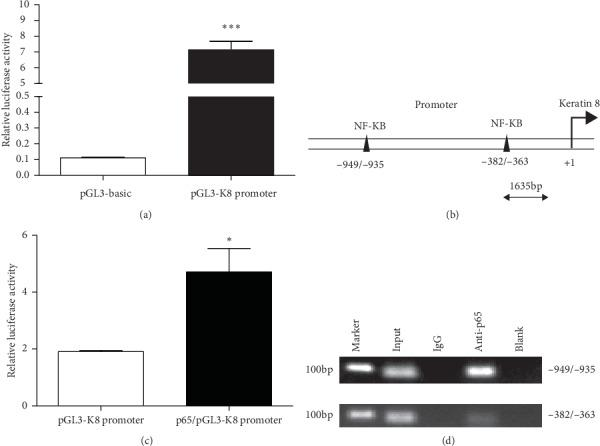 p65 binds directly to the K8 promoter. (a) The luciferase activity of the plasmid containing the pGL3-K8 promoter was greatly increased compared with that of control. (b) Schematic of the putative K8 promoter with two potential p65 response elements. (c) Luciferase assays in HEK293A cells. p65 significantly increased the luciferase activity of the vector containing the pGL3-K8 promoter. (d) Chromatin immunoprecipitation assays revealed that p65 interacts with the K8 promoter. Data are presented as mean ± SD. ∗ p