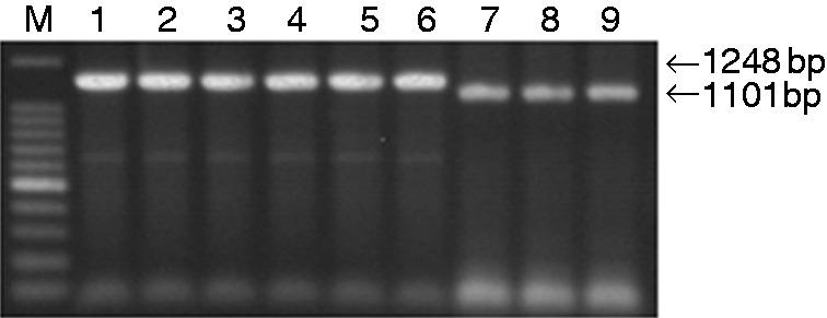 Identification of the recombinant plasmids by PCR. Lane M: 100-bp DNA ladder; Lane 1: σA-M1-pcAGEN; Lane 2: σA-M2-pcAGEN; Lane 3: σA-M3-pcAGEN; Lane 4: σA-M4-pcAGEN; Lane 5: σA-M5-pcAGEN; Lane 6: σA-M6-pcAGEN; Lane 7: σNS-M1-pcAGEN; Lane 8: σNS-M2-pcAGEN; Lane 9: σNS-M3-pcAGEN.