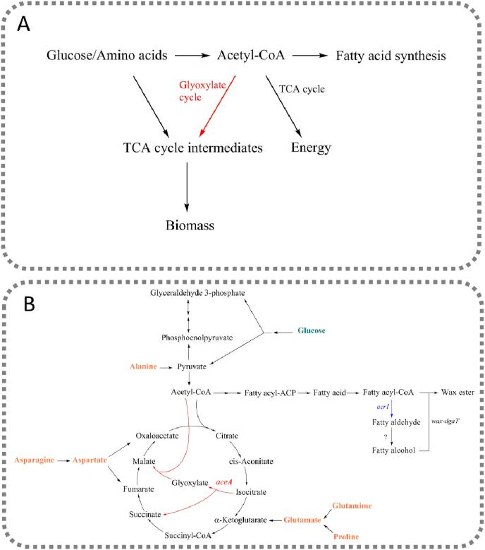 (A) Removal of the glyoxylate shunt hypothetically increases the availability of the central metabolite, acetyl-CoA, for fatty acid synthesis and energy generation. (B) The simplified metabolic pathway for the synthesis of wax esters from glucose and amino acids by A. baylyi ADP1. In the engineered strain, the gene aceA encoding for the isocitrate lyase, was deleted, blocking the glyoxylate shunt. The gene acr1 , encoding for the fatty acyl-CoA reductase, was overexpressed to facilitate wax ester production. In the final step of wax ester synthesis, fatty alcohol is esterified with fatty acyl-CoA by wax ester synthase (wax-dgaT).