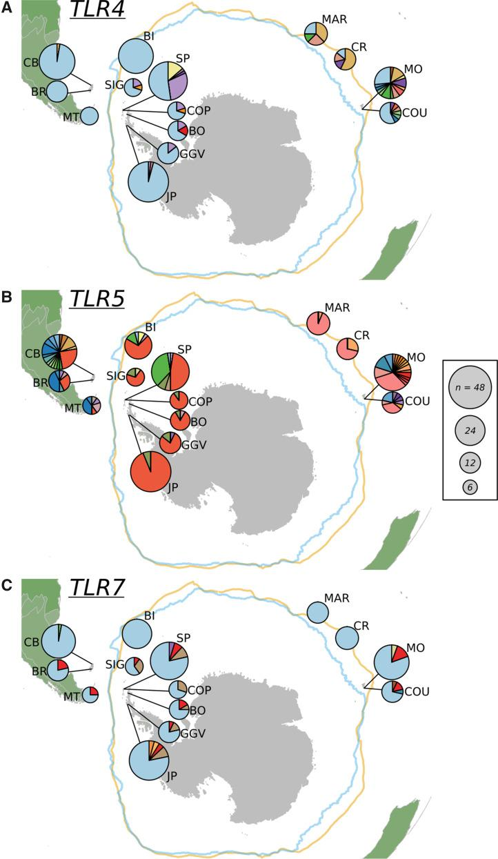 Haplotype diversity across Gentoo penguin sample populations for ( A ) TLR4 , ( B ) TLR5 , and ( C ) TLR7 . For each locus, different colors represent unique haplotypes and each segment size reflects the proportion of birds in each location with that haplotype. Overall size of the pie chart reflects the number of birds sampled in each location. Location abbreviations are the same as in previous figures.