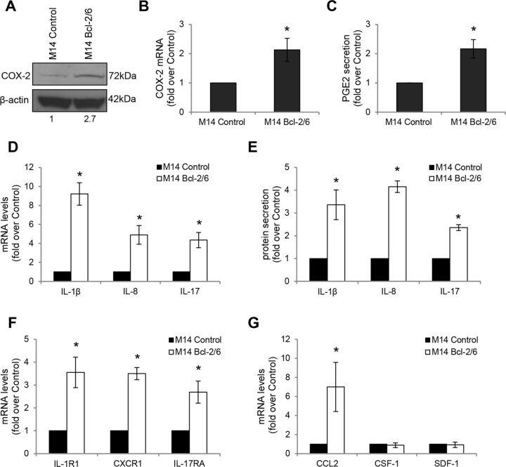 Bcl-2 drives expression of COX-2/PGE2 axis and IL-1β, IL-8, IL-17, CCL2 in melanoma cells. Analysis of COX-2 expression by (A) Western blot and (B) qRT-PCR analyses in M14 human melanoma control (M14 Control) and bcl-2 overexpressing (M14 Bcl-2/6) cells. (A) β-actin is shown as loading and transferring control. One representative western blot analysis out of two with similar results is reported. The numbers indicate densitometric analysis relative to control. (C) ELISA of PGE2 levels in CM derived from M14 control and bcl-2 overexpressing cells. PGE2 levels were normalized to the number of adherent cells. (D) qRT-PCR and (E) ELISA analyses of IL-1β, IL-8 and IL-17 expression in M14 control and bcl-2 overexpressing cells. (E) Protein levels were normalized to the number of adherent cells. (F) qRT-PCR analysis of IL-1β (IL-1R1), IL-8 (CXCR1), IL-17 (IL-17RA) receptors in M14 control and bcl-2 overexpressing cells. (G) qRT-PCR analysis of CCL2, CSF-1 and SDF-1 mRNA levels in M14 control and bcl-2 overexpressing cells. (B–G) Fold induction relative to control is reported. The results represent the average±SEM (B, D, F, G) or ±SD (C, E) of three independent experiments. *P