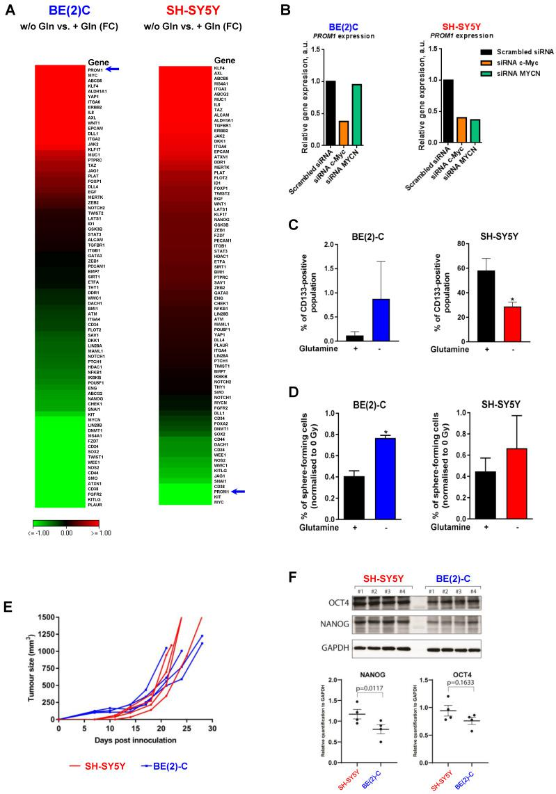 Glutamine deprivation modulates CSC properties in neuroblastoma cells. (A) Expression of 84 CSC-related genes analyzed by RT² Profiler PCR Array Human Cancer Stem Cells in BE(2)-C and SH-SY5Y cells upon 24 h of glutamine deprivation. Data are from two pooled experiments. (B) Relative expression level for PROM1 following c-MYC or MYCN knockdown in BE(2)-C and SH-SY5Y cells. Data are from three pooled experiments. (C) Flow cytometry analysis of CD133-positive populations in BE(2)-C and SH-SY5Y cells upon glutamine deprivation (n ≥ 3; ± S.E.M; *p