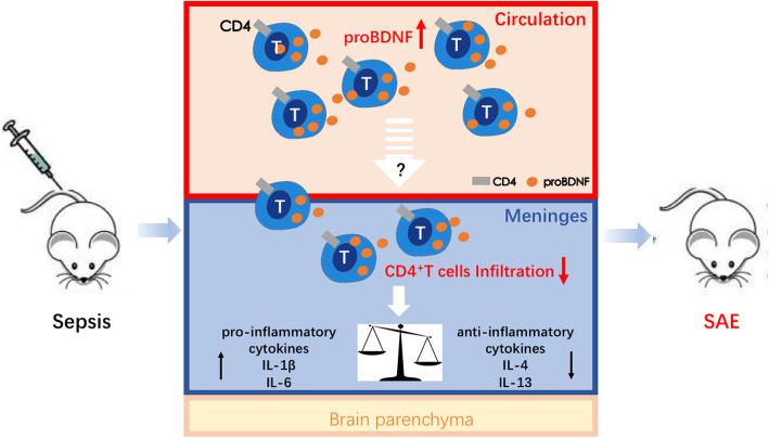 Schematic diagram showing how <t>proBDNF</t> dampens CD4 + T cell activity and contributes to the pathogenesis of SAE. In sepsis, proBDNF expression is increased in peripheral blood and meningeal immune cells, which then decreases the infiltration of CD4 + T cells in the meninges. As a result, meningeal pro-inflammatory cytokines such as IL-6 and IL-1β are upregulated, but anti-inflammatory cytokines including IL-4 and IL-13 are downregulated, finally leading to SAE. SAE, sepsis-associated encephalopathy
