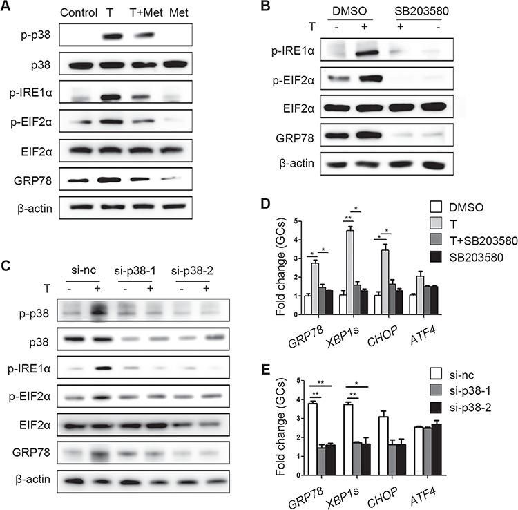 Ameliorative effects of metformin on testosterone-induced endoplasmic reticulum (ER) stress in mouse granulosa cells (GCs) mediated via reduction of p38 MAPK phosphorylation . ( A ) Unfolded protein response (UPR) sensor protein levels in GCs after treatment with 10 μM testosterone (T) and 1 mM metformin (met). ( B ) Protein changes in GCs treated with 10 μM testosterone and 10 μM SB203580 (a p38 MAPK inhibitor) as detected by western blot. ( C ) Western blot results showing the changes in the indicated proteins in GCs treated with 10 μM testosterone after transfection with si-p38 MAPK. ( D , E ) Effects of SB203580 (D) and si-p38 MAPK (E) on ER stress-related mRNA expression levels in GCs treated with 10 μM testosterone; the signals were normalized to those of Gapdh . The data are presented as means ± SEMs. * P