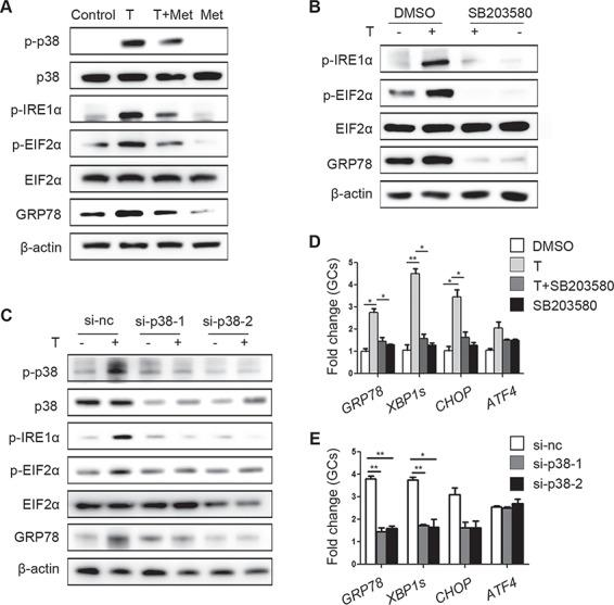 Ameliorative effects of metformin on testosterone-induced endoplasmic reticulum (ER) stress in cumulus oocyte complexes (COCs) mediated via reduction of <t>p38</t> MAPK phosphorylation . ( A ) Unfolded protein response (UPR) sensor protein levels in COCs treated with 10 μM testosterone (T) and 1 mM metformin (met). ( B ) Changes in ER stress-related protein levels in COCs treated with 10 μM testosterone and 10 μM SB203580 (a p38 MAPK inhibitor) as detected by western blot. ( C ) Western blot results showing the changes in the indicated proteins in COCs treated with 10 μM testosterone after transfection with si-p38 MAPK. Real-time qPCR results showing the effects of SB203580 ( D ) and si-p38 MAPK ( E ) on ER stress-related mRNA transcription levels in COCs treated with 10 μM testosterone; the signals were normalized to those of Gapdh . The data are presented as means ± SEMs. * P
