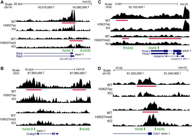ChIP-seq findings for Rarb , Crabp2 , Hoxa1 , and Cdx1 showing that RA-regulated peaks for H3K27ac and H3K7me3 are located near known RARE enhancers. (A) Shown for Rarb are RA-regulated ChIP-seq peaks for H3K27ac and H3K27me3 (red bars) when RA is lost in E8.5 trunk comparing WT versus Aldh1a2 -/- (KO) as well as RAREs (green). A RARE in the 5′-untranslated region is known to function as an RA-dependent enhancer in mouse transgene studies [ 23 ]; here, H3K27ac is decreased and H3K27me3 increased near the native RARE when RA is lost in trunk tissue, supporting its function as a RARE enhancer in vivo. We also found a RARE in the 5′-noncoding region of Rarb within an H3K27me3 ChIP-seq peak that is increased when RA is lost. (B) RA-regulated peaks for H3K27ac and RAREs are shown for Crabp2 . The 2 RAREs in the 5′-noncoding region were previously shown to function as RA-dependent enhancers in cell line studies [ 24 ]. Our epigenetic studies also identified another RARE enhancer in the 3′-noncoding region. (C) RA-regulated peaks for H3K27ac and/or H3K27me3 and RAREs are shown for Hoxa1 . KO studies in mouse embryos have shown that the RARE in the 3′-noncoding region is essential for hindbrain Hoxa1 expression and development [ 10 ]. (D) RA-regulated peaks for H3K27ac and H3K27me3 and RAREs are shown for Cdx1 . KO studies in mouse embryos have shown that the RARE in the 5′-noncoding region is essential for Cdx1 expression and body axis development [ 11 ]. RA-regulated peaks in the genome browser view shown here and elsewhere are for 1 replicate, with the other replicate showing a similar result. ChIP-seq, chromatin immunoprecipitation sequencing; E, embryonic day; H3K27ac, histone H3 K27 acetylation; H3K27me3, histone H3 K27 trimethylation; KO, knockout; RA, retinoic acid; RARE, RA response element; WT, wild-type.