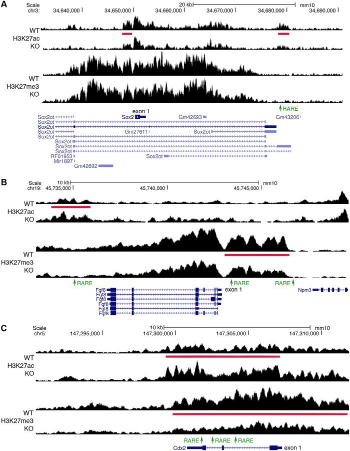 ChIP-seq findings identify RAREs near genes required for NMP function. (A) Two RA-regulated ChIP-seq peaks for H3K27ac (red bars) near Sox2 are shown for trunk tissue from E8.5 WT versus Aldh1a2 -/- (KO). A RARE (green) was found in the 3′-noncoding peak (but not the 5′-noncoding peak), suggesting it may function as a RARE enhancer as the H3K27ac peak is decreased when RA is lost. (B) Shown are RA-regulated ChIP-seq peaks for H3K27me3 and H3K27ac near Fgf8 . In the 5′-noncoding region of Fgf8 , we found 2 RAREs on either end of the peak for H3K27me3 (repressive mark) that is decreased in KO, indicating they are candidate RARE silencers; the RARE furthest upstream in the 5′-noncoding region at −4.1 kb was shown by knockout studies to function as an RA-dependent RARE silencer required for caudal Fgf8 repression and somitogenesis [ 7 ]. We also found another RARE in the 3′-noncoding region of Fgf8 that is another candidate for a RARE silencer, as it is contained within an RA-regulated peak for H3K27ac (activating mark) that is increased when RA is lost. (C) Cdx2 has a peak for H3K27ac that is increased and an overlapping peak for H3K27me3 that is decreased, along with 3 RAREs included within both peaks, indicating that all these RAREs are candidates for RARE silencers. ChIP-seq, chromatin immunoprecipitation sequencing; E, embryonic day; H3K27ac, histone H3 K27 acetylation; H3K27me3, histone H3 K27 trimethylation; KO,; NMP, neuromesodermal progenitor; RA, retinoic acid; RARE, RA response element; WT, wild-type.