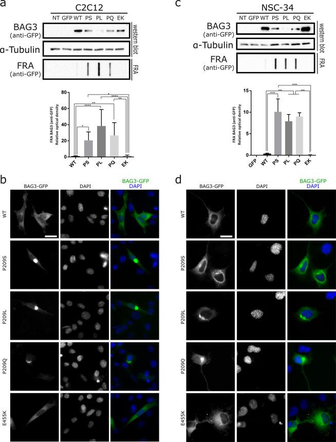 BAG3_Pro209 mutants also aggregate in muscle (C2C12) and motoneuron-like cells (NSC-34). We transiently transfected GFP-tagged BAG3 wild type or mutant constructs in C2C12 and NSC-34 cells. We then verified protein aggregation by separating the soluble fraction (western blot) and insoluble fraction (filter retardation assay (FRA)) ( a , c ) or verified protein aggregation by immunofluorescence ( b , d ). The FRA analysis is displayed for the NP-40 insoluble fraction. Relative optical densities are reported in the graphs as means ± SD of normalized values. One-Way ANOVA with Bonferroni's multiple comparisons test were used for statistical analysis (n = 3). Scale bar = 10 µm.
