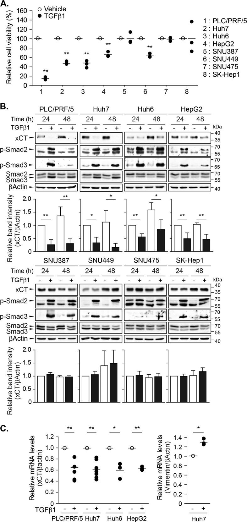The repression of xCT expression by TGF-β1 in a subset of HCC cell lines. a TGF-β1 was administered to PLC/PRF/5, Huh7, Huh6, HepG2, SNU387, SNU449, SNU475, and SK-Hep1 cells at a concentration of 5 ng/mL and cell viability was measured using the CellTiter Glo® assay after 6 days; three independent experiments were performed in triplicate. b TGF-β1 was applied to PLC/PRF/5 ( n = 4), Huh7 ( n = 3), Huh6 ( n = 4), HepG2 ( n = 4), SNU387 ( n = 3), SNU449 ( n = 3), SNU475 ( n = 3), and SK-Hep1 ( n = 3) cells for 24 or 48 h at a concentration of 5 ng/mL, and then whole-cell lysates were assessed with western blot analyses. Representative images are shown. c PLC/PRF/5 ( n = 5), Huh7 ( n = 7), Huh6 ( n = 3), and HepG2 ( n = 3) cells were treated with 5 ng/mL of TGF-β1 for 24 h and then collected for RT-PCR analyses to detect the mRNA levels of xCT, vimentin, and β-actin; vimentin was used as a positive TGF-β1-responsive gene. All data are expressed as the mean ± SD. * P