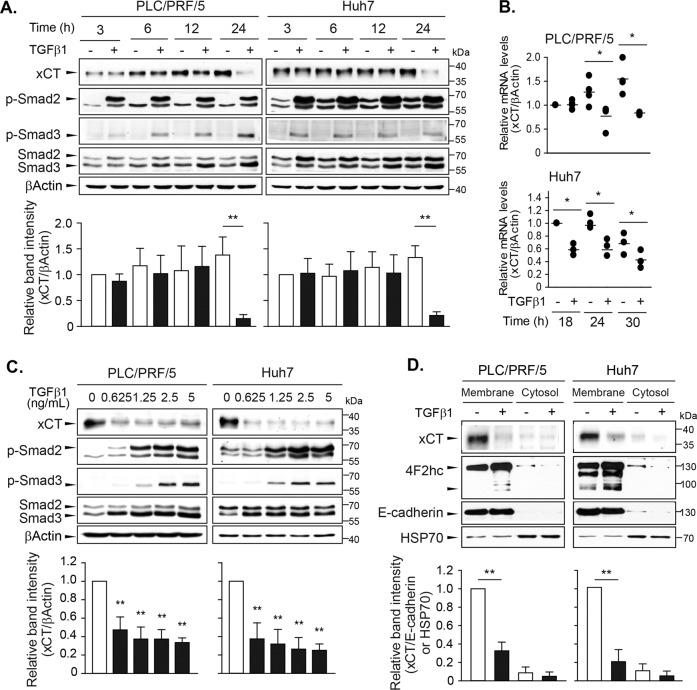 Time- and dose-dependent repressions of xCT expression by TGF-β1 in PLC/PRF/5 and Huh7 cells. Cells were treated with TGF-β1 at a concentration of 5 ng/mL for 3, 6, 12, or 24 h and sampled for western blot analysis ( a ) or for 18, 24, or 30 h and sampled for RT-PCR analyses ( b ). c TGF-β1 was administered at the concentrations of 0, 0.625, 1.25, 2.5, and 5 ng/mL for 24 h and whole-cell lysates were used for western blot analysis. d PLC/PRF/5 and Huh7 cells treated with 5 ng/mL of TGF-β1 for 24 h were fractionated to obtain plasma membrane and cytosol samples and then used for Western blot analysis. E-cadherin and HSP70 were assessed as marker proteins for the plasma membrane and cytosol fractions, respectively. Representative data from three independent experiments are shown. * P