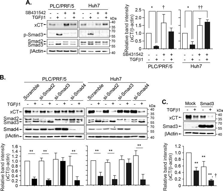Canonical TGF-β1 signaling pathways involved in the regulation of xCT expression. a PLC/PRF/5 and Huh7 cells were pretreated with 2.5 µM of SB431542 for 1 h and then challenged with 5 ng/mL of TGF-β1 for 24 h ( n = 3). b PLC/PRF/5 and Huh7 cells were transiently transfected with scrambled siRNA or siRNA targeting Smad2 ( n = 4), Smad3 ( n = 3 for PLC/PRF/5 cells and n = 6 for Huh7 cells), or Smad4 ( n = 3) and then exposed to TGF-β1 for 24 h. c Huh7 cells ( n = 3) were transiently transfected with mock- or Smad3-expressing plasmid, recovered overnight, and then further incubated with TGF-β1 for 24 h; total cell lysates were used for the western blot analysis. Data from independent experiments are expressed as the mean ± SD; representative images are shown. * P