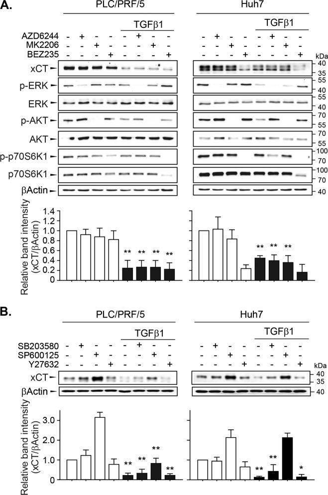 Non-canonical TGF-β1 signaling pathways involved in the regulation of xCT expression. a PLC/PRF/5 ( n = 5) and Huh7 ( n = 4) cells were pretreated with AZD6244 (0.1 µM for PLC/PRF/5 cells and 1 µM for Huh7 cells), MK2206 (0.1 µM for PLC/PRF/5 cells and 1 µM for Huh7 cells), or BEZ235 (0.01 µM for PLC/PRF/5 cells and 0.1 µM for Huh7 cells) for 1 h and then further incubated with TGF-β1 for 24 h. b PLC/PRF/5 ( n = 3) and Huh7 ( n = 3) cells were pretreated with either SB203580 (5 µM), SP600125 (10 µM), or Y27632 (10 µM) for 1 h and then further incubated with TGF-β1 for 24 h; total cell lysates were used for western blot analysis. Independent experiments are expressed as the mean ± SD; representative images are shown. * P