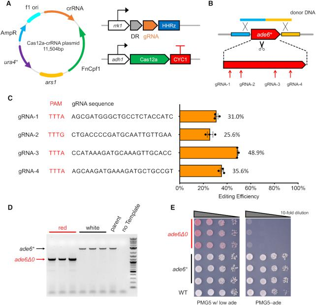 Cas12a genome editing system. ( A ) FnCas12a and crRNA were expressed from a single plasmid with ura4 marker and ars1 replicating origin in fission yeast. As the first construct, FnCas12a and gRNA were expressed with adh1 and rrk1 promoter, respectively. ( B ) To test editing efficiency, we picked four gRNAs targeting the endogenous ade6 + CDS. One linear donor DNA was co-transformed to delete ade6 by homologous recombination. ( C ) The gRNA sequences used and their editing efficiency, with mean values ± S.E.M. The original colony counts are listed in Supplementary Table S6 . ( D ) Colony PCR to check the ade6 deletion, in red colonies and white colonies from plates with PMG5–Ura w/ low adenine media. The 1 kb Plus DNA ladder from NEB (Catalog# N3200L) was used as the molecular weight standard. ( E ) Spot assay on plates to check adenine auxotroph.