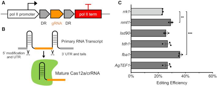 Expression of Cas12a crRNA using pol II promoters. ( A ) New constructs were designed using pol II promoters and terminators to express crRNA. ( B ) crRNA release from primary RNA transcripts. ( C ) New endogenous and exogenous pol II promoters tested and their editing efficiency targeting ade6 + . The same gRNA sequence (gRNA-3) was used here. Error bars represent mean ± S.E.M. using three technical replicates. An unpaired t -test was used to assess the significance of higher efficiency using nmt1 or fba1 promoter compared to the rrk1 promoter (** P