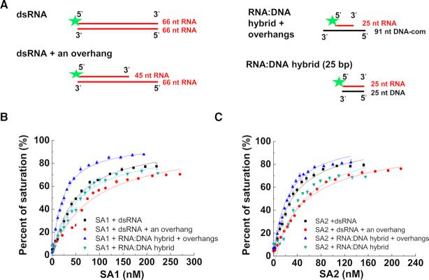 SA1 and SA2 bind to double-stranded substrates containing RNA. ( A ) Schematic illustration of double-stranded substrates containing RNA that were used for fluorescence anisotropy experiments. The green star represents the 5′ fluorescein label. The RNA oligo sequences are shown in Supplementary Table S1 . (B and C) Concentration-dependent binding of SA1 ( B ) and SA2 ( C ) to dsRNA, dsRNA with an overhang, and RNA:DNA hybrids with or without overhangs. The data were fitted to the law of mass action ( R 2 > 0.96). The error bars (standard deviations) are from three measurements. The equilibrium dissociation constants ( K d ) were calculated from at least two independent experiments (Table 1 ).