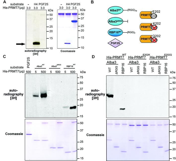 In vitro methylation of Alba3 and RBP16 by PRMT7. ( A ) Recombinant His-PRMT7 was tested for methyltransferase activity in vitro in the presence of radioactive methyl donor S -adenosyl methionine, human histone H4 as (1 μg) a canonical RGG-containing PRMT substrate (black arrow) and a Leishmania braziliensis protein rich in arginines but devoid of RGG motifs as a negative control ( Lbr PGF2S). ( B ) Purified His-tagged PRMT7 putative substrates Alba3 WT , RBP16 WT and RGG-deficient Alba3 ΔRGG were tested, as well as Lbr PGF2S WT . PRMT7 E202 residue in the double E loop motif was mutated to K or Q to generate catalytically-inactive mutants. ( C ) RNA-binding proteins Alba3 WT and RBP16 are arginine methylated by PRMT7 in vitro , while Alba3 ΔRGG and LbrPGF2S WT are not. ( D ) In vitro methylation of target RBPs by PRMT7 is disrupted by mutating residue E202 (PRMT7 E202K and PRMT7 E202Q ). Coomassies demonstrate relative loading.