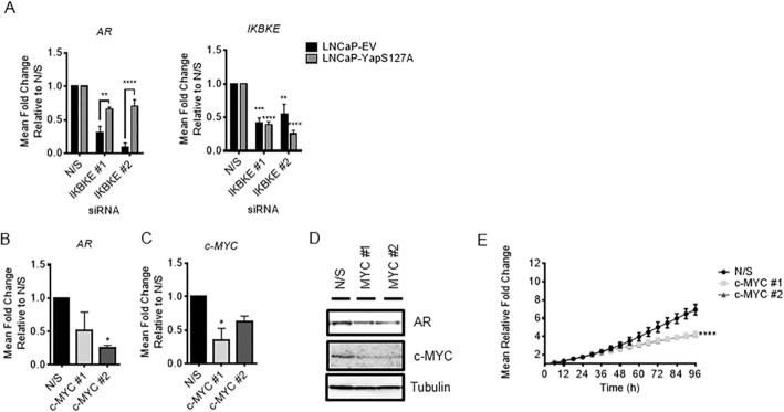 IKBKE effects on AR expression are phenocopied by c-MYC knockdown and partially rescued by overexpression of constitutively active Yap. ( A ) LNCaP-EV and LNCaP-Yap-S127A were reverse transfected with two individual siRNA sequences targeting IKBKE. RNA was collected after 72 h and assessed for expression of AR and IKBKE by qPCR ( n = 3). ( B ) LNCaP cells were reverse transfected with either N/S or two independent siRNA sequences targeting c-MYC. After 72 hours, RNA was collected and AR mRNA and ( C ) c-MYC expression levels determined by QPCR ( n = 3). One-way ANOVA, Dunnett's multiple comparisons test * P