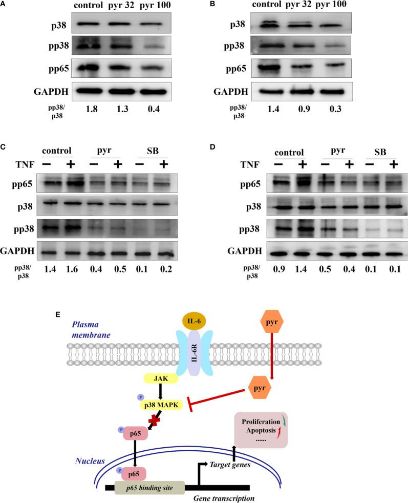 Pyrimethamine regulates the p65/NF- k B pathway in CRPC cells through p38 MAPK inhibition. (A, B) The western blot analysis of the expression of p38, pp38, and pp65 after treatment of 0, 32, and 100 μM pyrimethamine for 24 h in DU145 and PC3 cell lines. The ratio of pp38/p38 was normalized to GAPDH. (C, D) DU145 and PC3 cells were treated for 24 h with pyrimethamine or SB202190 (10 μM) and then treated for 6 h in the absence or presence of TNF-a (10 ng/ml). Total cell lysates were analyzed by western blot with antibodies against p38, pp38, and pP65. (E) A consolidated model that illustrates a plausible sequence for the mechanism by which pyrimethamine elicits antitumor effects in prostate cancer.