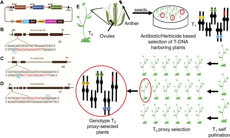 Proxy-based selection scheme of CRISPR-mutagenized plants. (A) The pCUT3-CE construct contains three individual transcriptional units that generate sgRNA for JAR1 , GL1 and EIN2 editing. The expression of each sgRNA is controlled by individual AtU6 promoters (U6P) and poly-T terminator (TTTTTT). (B-D) JAR1 , GL1 and EIN2 target sites. Sequence in red denote the 20nt crRNA target site within each proxy gene. The PAM site is boxed in blue. Scale bar = 0.1kb. (E) Selection scheme using proxy plants: T 0 plants are transformed with the binary vector shown in (A). In the T1 generation, each gene targeted is depicted as a yellow, green or blue diamond, each one positioned on a different Arabidopsis chromosome. The T-DNA harboring CRISPR-Cas9 is depicted as a red chromosome fragment. The genotype of proxy-selected T2 plants is shown at the left end of the scheme: the blue star depicts loss-of-function mutation of the proxy gene that allowed for the visual selection of edited plants, while yellow and green diamonds with a question mark depict surrogate genes of unknow allelic condition that need to be PCR-genotyped.