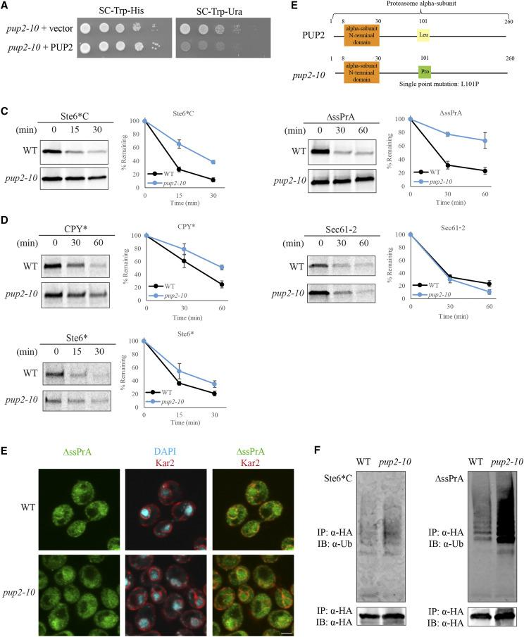 Pup2 predominantly affects CytoQC compared to ERAD. (A) Rescue of the CytoQC-defective phenotype observed with the exogenous expression of wild-type Pup2 ( PUP2 ) in the pup2 -10 mutant. Equal numbers of each strain were spotted as described in Figure 1C with SC-Trp-His and SC-Trp-Ura plates for selection. Vector: empty vector. (B) Missense mutation in spontaneous mutant pup2 -10 is present at residue 101, replacing Leucine for Proline. (C-D) Degradation kinetics of CytoQC and ERAD substrates were determined by pulse chase analyses. Strains were pulsed with 35S-Met/Cys for 5min for Ste6 *C and Ste6 * and 10min for ∆ssPrA, CPY* and Sec61 -2, followed by chase for the indicated time points. (E) CytoQC substrate ∆ssPrA is localized predominantly in the nucleus in WT and pup2 -10 . Substrates were detected with anti-HA antibody (green). The ER and nuclear envelope were visualized with anti- Kar2 antiserum (red). Nucleus was visualized with DAPI staining. Scale bar: 2µm. (F) Accumulation of polyubiquitinated Ste6 *C and ΔssPrA was observed in pup2 -10 mutant compared to WT. Misfolded cytosolic substrates expressed in WT and pup2 -10 were immunoprecipitated (IP) by anti-HA antibody, resolved by SDS-PAGE and analyzed by immunoblotting (IB) with anti-ubiquitin antibody to detect polyubiquitinated substrates.