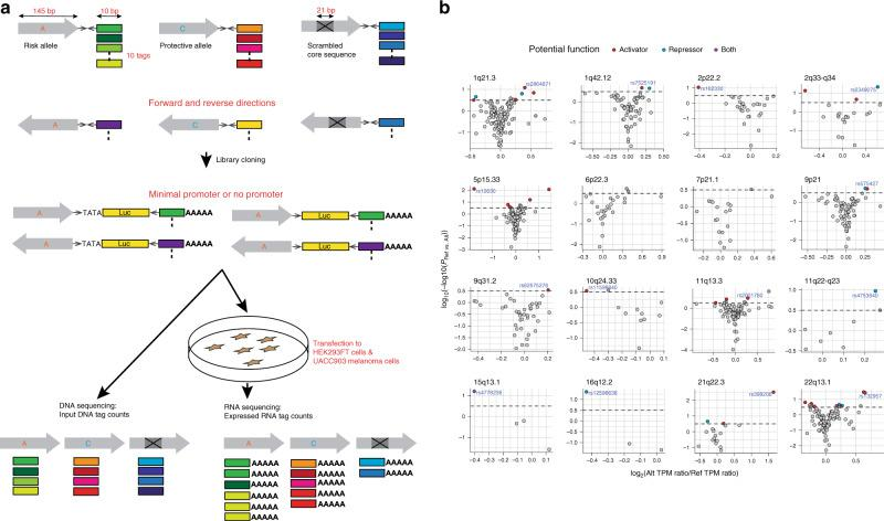 MPRA identified 39 functional variants from 16 melanoma GWAS loci. a MPRA workflow. Oligo libraries were synthesized using 145 bp of sequence encompassing each variant with risk or protective alleles or a scrambled sequence for core 21 bases in both forward and reverse directions, that was flanked by enzyme recognition sites and sequencing primer sequences, as well as 10 bp barcodes (10 tags per unique sequence). Libraries were cloned into luciferase constructs with or without a minimal TATA promoter. Cloned libraries were then transfected into HEK293FT cells or UACC903 melanoma cells to generate expressed RNA tag libraries. Both input DNA and RNA libraries were sequenced to assess the tag counts associated with the test sequences. Luc: luciferase gene, AAAAA: poly-A tail. b Volcano plots of MPRA results for each melanoma GWAS locus. Inverse P-values and effect sizes of allelic difference from UACC903 transfections are shown for each of the 16 loci tested. A two-sided Wald test with robust sandwich type variance estimate was used. Multiple comparisons were adjusted using the Benjamini and Hochberg method. Dashed horizontal lines indicate the FDR 1% cutoff for allelic difference in the UACC903 set. The most significant variant from each locus is labeled. Putative function of 39 significant MPRA variants are shown as activator (red circle), repressor (blue circle), or both (purple circle) (expression levels of either allele is higher, lower, or higher and lower than those of scrambled sequence, respectively). Gray variants above the FDR 1% cutoff are those that failed additional criteria (allelic difference in the combined data or significant departure from the scrambled control). No significant variants were identified from the loci on Chr6p22.3 and Chr7p21.1. Source data are provided as a Source Data file.