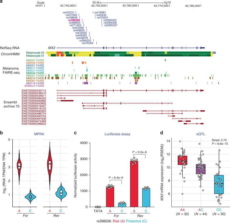 rs398206 is a functional cis -regulatory variant and a significant cis -eQTL for MX2 levels in melanocytes. a Variants that were tested in MPRA from the Chr21q22.3 melanoma locus are shown relative to the genomic position of MX2 . Only the 19 variants located in the first intron of MX2 coming from the primary GWAS signal are shown (the other three from a secondary signal are located upstream of the MX2 genic region). ChromHMM annotation (Primary Core Marks segmentation) of Penis Foreskin Melanocyte Primary Cells from Roadmap Epigenomics Project is shown (Red/OrangeRed: Active_TSS/Flanking_Active_TSS, Yellow/GreenYellow: Enhancers/Genic_enhancers, Green/DarkGreen: Strong_transcription/Weak_transcription). Melanoma FAIRE-seq track of 11 samples is from a study by Verfaillie and colleagues 26 . Ensembl predicted transcripts from archive 75 are shown. b Transcriptional activity of 145 bp sequences encompassing rs398206 from MPRA are shown as normalized tag counts (log 2 (RNA TPM/DNA TPM)). Results from UACC903 melanoma cells are shown for both alleles in forward (For) and reverse (Rev) directions, where results from promoter and enhancer constructs were combined. Center lines show the medians; box limits indicate the 25th and 75th percentiles as determined by R software; whiskers extend 1.5 times the interquartile range from the 25th and 75th percentiles, outliers are represented by dots. Density is reflected in the width of the shape. c Individual luciferase activity assays of 145 bp sequences encompassing rs398206 is shown for UACC903. pGL4.23 construct including minimal TATA promoter was used. One representative set is shown from three biological replicates. Mean with SEM, n = 6. All constructs are significantly higher than pGL4.23 (TATA) control ( P