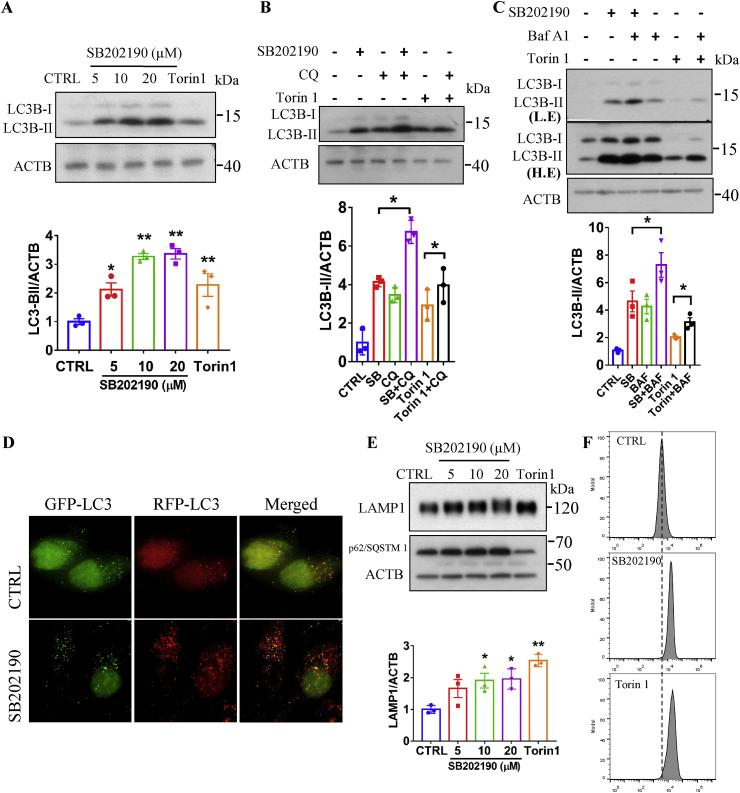 SB202190 enhanced autophagy and lysosomal biogenesis. ( A ) SB202190 increased LC3B-II levels in a dose-dependent manner. After HeLa cells were treated with indicated concentrations of SB202190 or a positive control Torin 1 (250 nM) for 16 h, the expression of LC3B was detected by Western blotting. ( B ) HeLa cells were treated with SB202190 (10 μM) or a positive control Torin 1 (250 nM) for 16 h in the presence or absence of the lysosomal inhibitor chloroquine (CQ, 50 μM) (CQ was added into cells at last 3 h for drug treatment), then the expression of LC3B-II was detected and quantified. ( C ) HeLa cells were treated with SB202190 (10 μM) or a positive control Torin 1 (250 nM) for 16 h in the presence or absence of the v-ATPase inhibitor bafilomycin A1 to inhibit autophagy-lysosome fusion (Baf A1, 50 nM) (Baf A1 was added into cells at last 3 h for drug treatment). The expression of LC3B-II was detected and quantified. ( D ) After the treatment of HeLa cells stably expressing tf-LC3 plasmids with SB202190 (10 μM) for 16 h, the signal was captured by a fluorescence microscope and representative images are shown. ( E ) SB202190 increased LAMP1 levels in a dose-dependent manner. After HeLa cells were treated with indicated concentrations of SB202190 or a positive control, Torin 1 (250 nM) for 16 h, the expression of LAMP1 was detected by western blotting and quantified. ( F ) After HeLa cells were treated with SB202190 (10 μM) or Torin 1 (250 nM) for 16 h, cells were loaded with LysoTracker Red DND-99 (75 nm) for 1 h and the intensity was recorded by flow cytometer. Representative data are shown from three independent experiments. Quantitative data are presented as the mean ± SEM from at least 3 independent experiments. (For interpretation of the references to color in this figure legend, the reader is referred to the Web version of this article.)