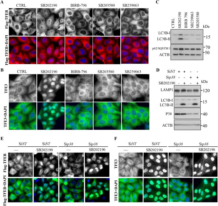 SB202190-induced TFEB and TFE3 nuclear accumulation is independent of p38 MAP kinase inhibition. ( A ) After CF-7 cells were treated with p38 MAP kinase inhibitors SB202190, BIRB-796, SB203580, and SB239063 at the concentration of 10 μM for 3 h, cellular distribution of TFEB was detected by immunostaining. ( B ) After HeLa cells were treated with p38 MAP kinase inhibitors SB202190, BIRB796, SB203580, and SB239063 at the concentration of 10 μM for 3 h, cellular distribution of endogenous TFE3 was detected by immunostaining. ( C ) Western blotting results showed that SB202190, rather than other p38 MAP kinase inhibitors (10 μM for 16 h) robustly increases LC3B-II and SQSTM1/p62 levels in HeLa cells. ( D ) SB202190 still increased the expression of LAMP1 and LC3B-II levels after knockdown of Mapk14/p38 α. ( E -F ) After HeLa were transfected with non-target of MAPK14/p38α specific siRNA for 48 h, followed by treatment with SB202190 for 3 h, the cellular distribution of TFEB (E) and TFE3 (F) were detected by immunostaining assay.