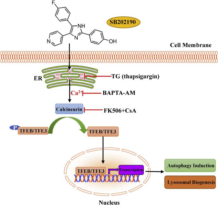 Schematic illustration of the mechanism of action of SB202190 on activating TFEB/TFE3-mediated autophagy and lysosomal biogenesis. SB202190 causes the release of calcium from ER. Intracellular calcium subsequently activates the phosphatase PPP3/calcineurin, thereby de-phosphorylating and promoting TFEB and TFE3 nuclear accumulation. In the nucleus, TFEB and TFE3 transcriptionally regulate the expression of multiple autophagy- and lysosomal-related genes to enhance autophagy and lysosomal biogenesis. PPP3/calcineurin inhibitors FK506 and CsA, calcium chelator BAPTA-AM, or depleting ER calcium by TG (thapsigargin) all effectively attenuate TFEB and TFE3 activation in response to SB202190. Taken together, SB202190 activates TFEB- and TFE3-dependent autophagy and lysosomal biogenesis via ER calcium release and subsequent calcium-dependent PPP3/calcineurin activation, leading to dephosphorylation and activation of TFEB and TFE3.