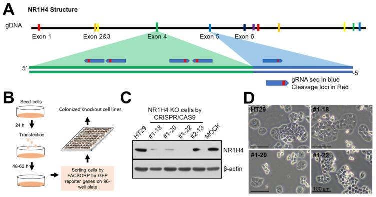 Generation of NR1H4 KO cell lines using CRISPR/CAS9 technology. (A) Simplified gene structure of NR1H4. (B) Workflow of the methodology used to generate NR1H4 KO cell lines. (C) Cells were grown for 24 h in 6-well plates and harvested for immunoblotting to evaluate NR1H4 expression. (D) Representative light microscopy images of sub-confluent cells. Results shown are representative of at least three independent experiments. Scale bars = 100 µm.