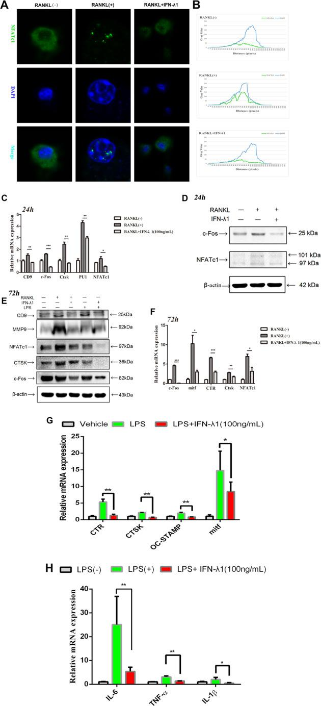 IFN-λ1 inhibited the nuclei translocation of NFATc1 and the expression of osteoclast-specific genes. a RAW264.7 cells were seeded in 96-well plates and treated with IFN-λ1 (100 ng/ml) for 24 h, followed by stimulation with 100 ng/ml RANKL and 50 ng/ml M-CSF. The intracellular location of the NFATc1 was observed by immunofluorescence staining using confocal microscopy. Scale bar = 800 μm. b The gray values of the Green and Blue staining were measured using the Image J software, and the mean values were plotted using excel. c Relative mRNA expression of CD9, c-Fos, Ctsk, PU.1, and NFATc1 during treatment with RANKL in the presence or absence of IFN-λ1 (100 ng/ml) for 24 h. d Relative expression of c-Fos and NFATc1 during treatment with RANKL in the presence or absence of IFN-λ1 (100 ng/ml) for 24 h in protein level. β-actin was used as an internal control. e Relative expression of CD9, MMP-9, CTSK, c-Fos, and NFATc1 during treatment with RANKL or LPS in the presence or absence of IFN-λ1 (100 ng/ml) for 72 h in protein level. β-actin was used as an internal control. f Relative mRNA expression of mitf, c-Fos, Ctsk, CTR, and NFATc1 during treatment with RANKL in the presence or absence of IFN-λ1 (100 ng/ml) for 72 h. g Relative mRNA expression of mitf, Ctsk, CTR, and OC-STAMP during treatment with LPS in the presence or absence of IFN-λ1 (100 ng/ml) for 72 h. h Relative mRNA expression of IL-1β, IL-6, and TNF-α during LPS-induced osteoclastogenesis in the presence or absence of IFN-λ1 (100 ng/ml). The data in the figures represent the averages ± SD. Significant differences are indicated as * p