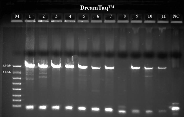Long range ribosomal PCR Amplifications of the 3.5 kb target from Fall specimens with Dream Taq ™. M: DNA markers; 1: 104H78; 2: 104H81; 3: 104H82; 4: 104H83; 5: 104H84; 6: 104H85; 7: 104H86; 8: 104H87; 9: 104H88; 10: 104H89; 11: 104H90; NC: negative control. 1-7: Female; 8-11: Male.