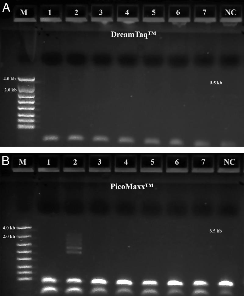Long range ribosomal PCR Amplifications of the 3.5 kb target from Summer specimens with PicoMaxx™ High Fidelity PCR System. M: DNA markers; 1: 104K25; 2: 104K26; 3: 104K27; 4: 104K28; 5: 104K29; 6: 104K30; 7: 104K31; NC: negative control, respectively. A: Dream Taq ™; B: PicoMaxx™ High Fidelity PCR System.