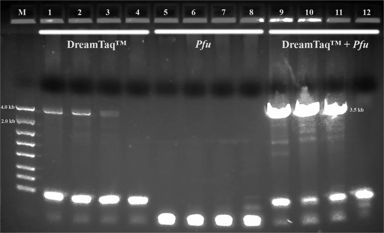 Long range ribosomal PCR Amplifications of the 3.5 kb target from Summer specimens with Dream Taq ™ or/and Pfu in PicoMaxx™ buffer. M: DNA markers; 1, 2, 3 and 4: Dream Taq ™; 5, 6, 7 and 8: Pfu ; 9, 10, 11and 12: Dream Taq ™ and Pfu combined; 1, 5 and 9: 104K29; 2, 6 and 10: 104K30; 3, 7 and 11: 104K31; 4, 8 and 12: negative control (NC), respectively.